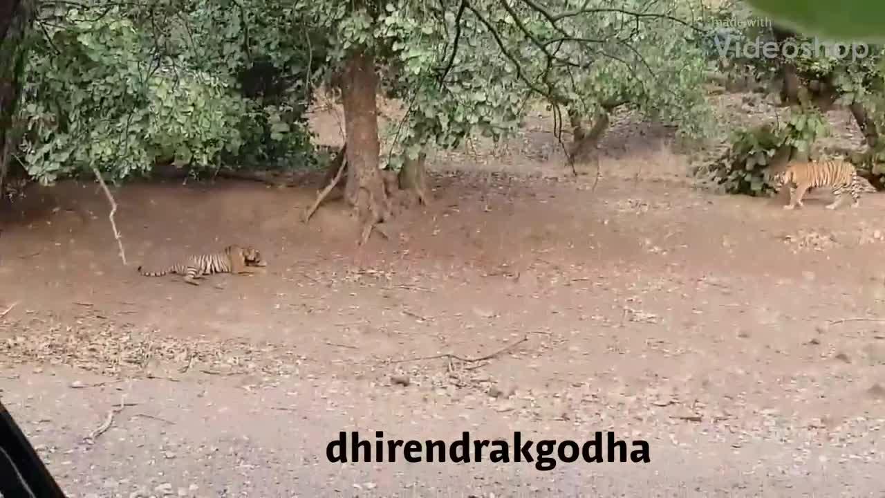 """Hổ non hiếu chiến bị hổ già """"tát"""" chạy vỡ mật! Nguồn: Dhirendrakgodha"""