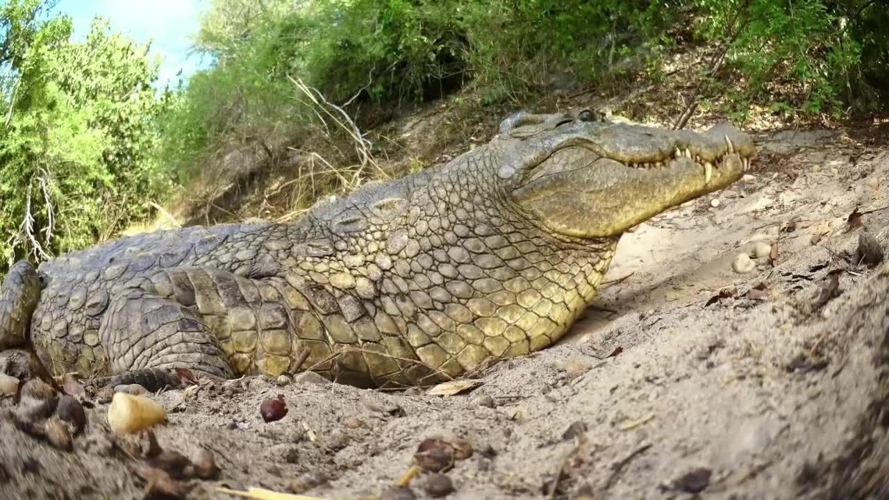 Kỳ đà ăn trộm trứng cá sấu và cái kết. Nguồn: BBC