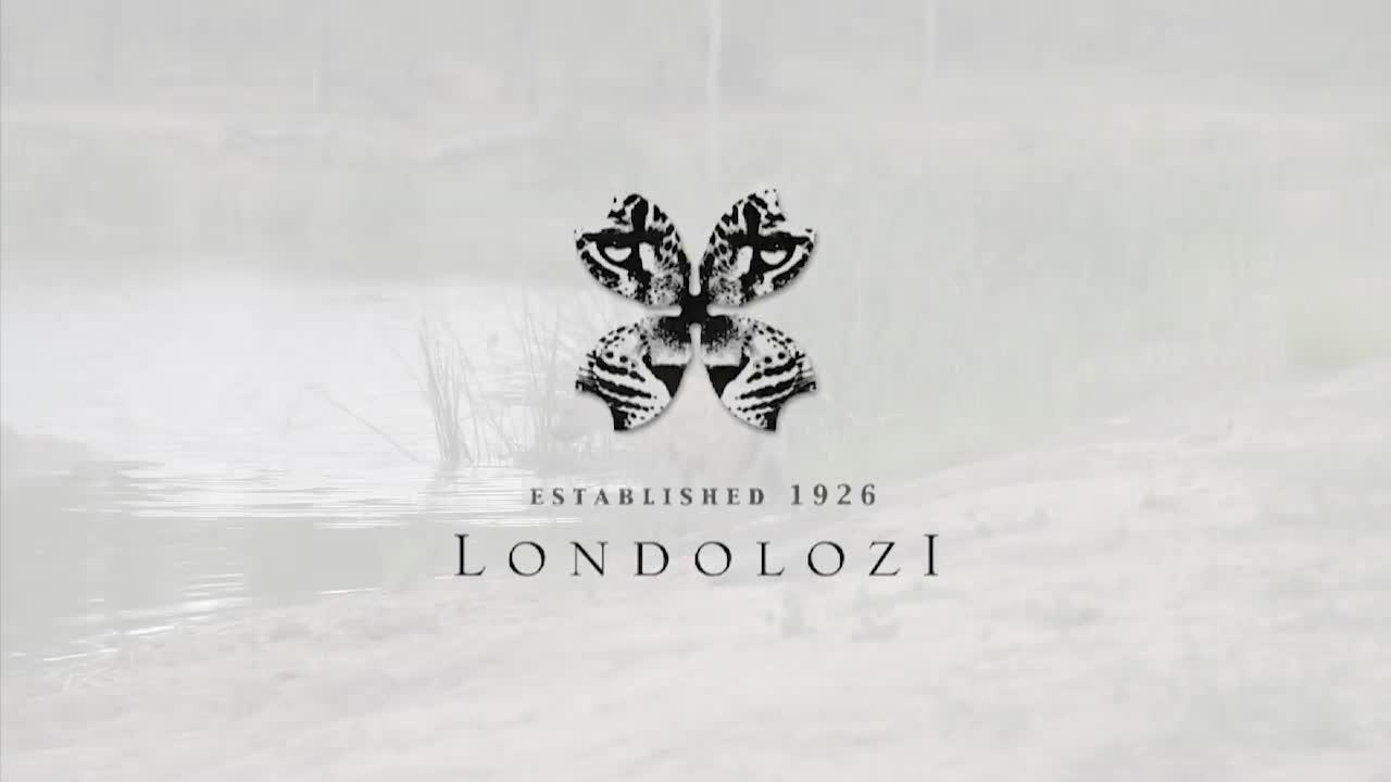 Sư tử non thiếu kinh nghiệm tranh dành thức ăn của cá sấu. Nguồn: Londolozi Game Reserve