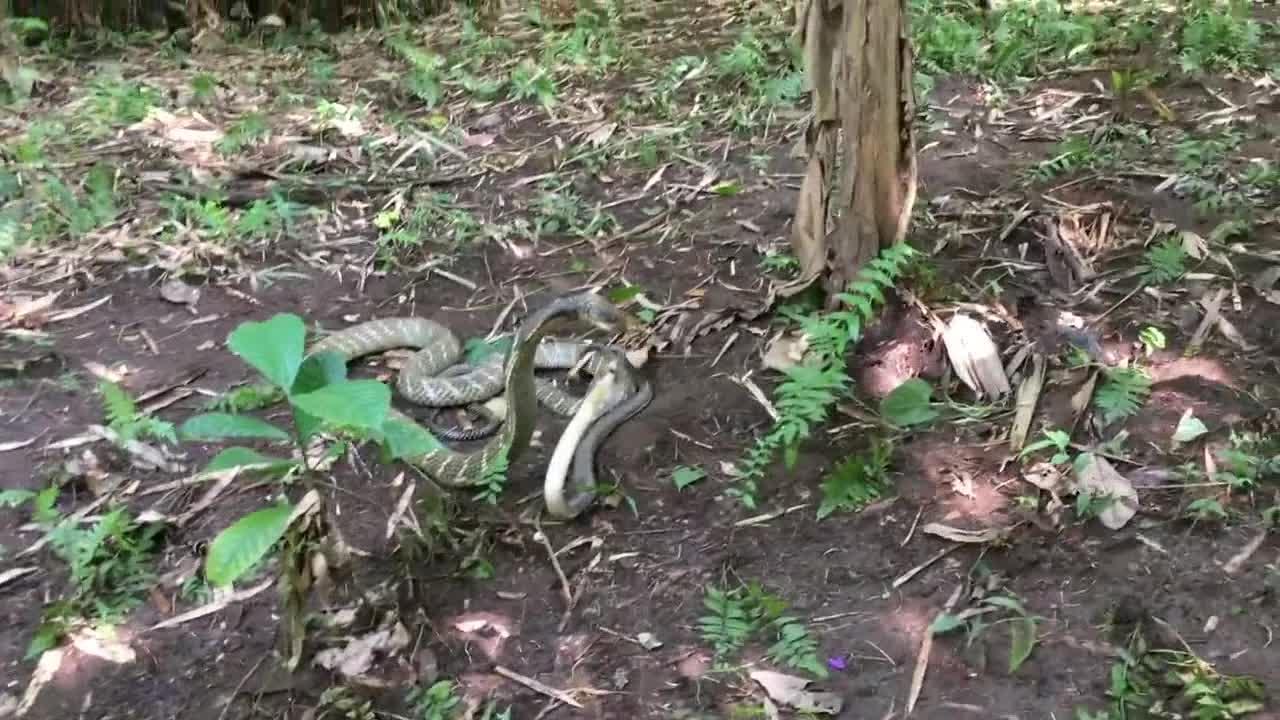 Rắn hổ mang chúa rắn hổ mang phun độc chiến đấu với nhau tới chết. Nguồn: Miller Wilson