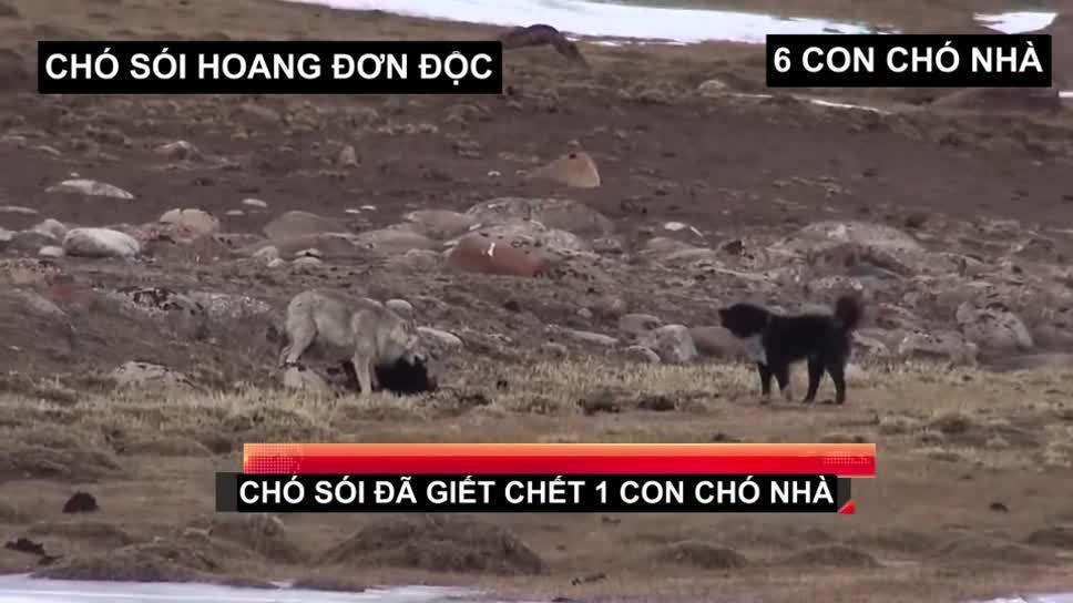 Chó sói đơn độc tấn công và thịt chó nhà. Nguồn: Luohailiang Ye