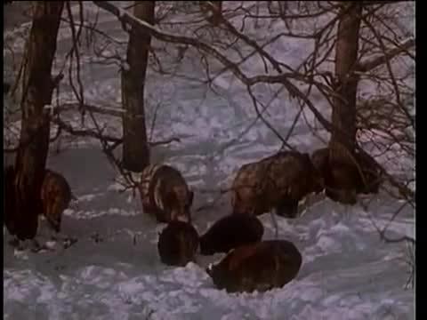 Hổ tấn công lợn rừng khổng lồ và bị phản công dữ dội. Nguồn: PantheraTigrisA