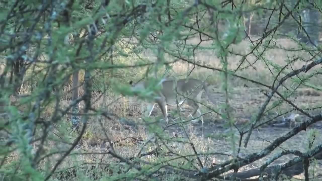 Sư tử hạ gục hươu cao cổ. Nguồn: Wildlife Sightings