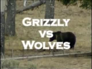 Chó sói và gấu đánh nhau để tranh dành thức ăn. Nguồn: