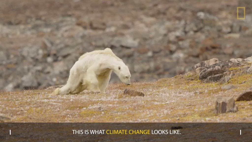 Cảnh tượng gấu Bắc Cực gầy trơ xương trên hòn đảo không băng