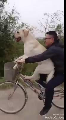 Dân mạng thích thú khi thấy Cải co chân ngồi yên vị trên chiếc xe đạp chòng chành