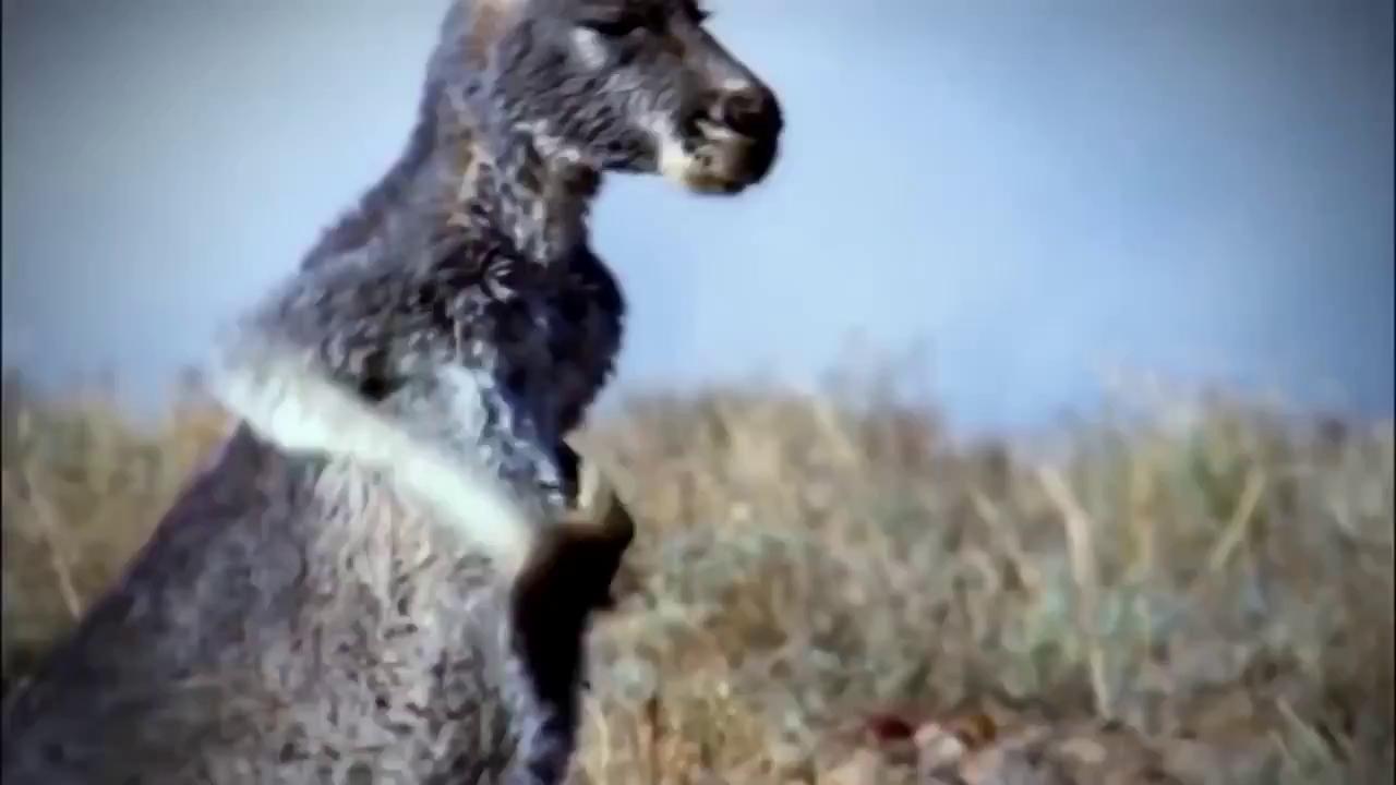 """Bị """"trêu chọc"""" quá đà, ngựa vằn nổi điên, tẩn luôn báo dữ"""