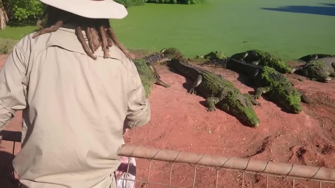 Vừa đến giờ ăn, cá sấu chưa kịp làm gì thì đã cụt mất một chân vì lý do không thể ngờ