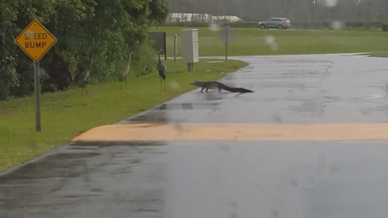 Cá sấu lên bờ, đang sang đường dở thì bất ngờ quay đầu bỏ chạy