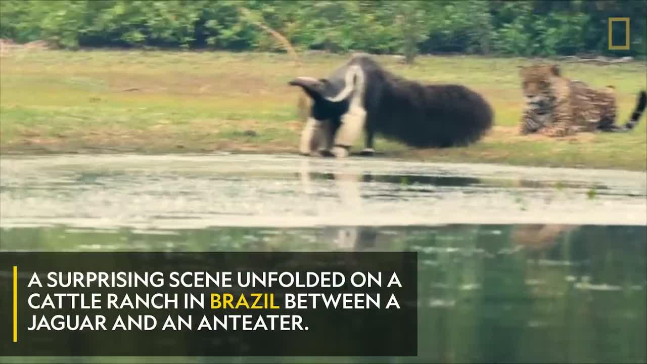Cuộc đối đầu kỳ lạ giữa báo đốm và thú ăn kiến khổng lồ