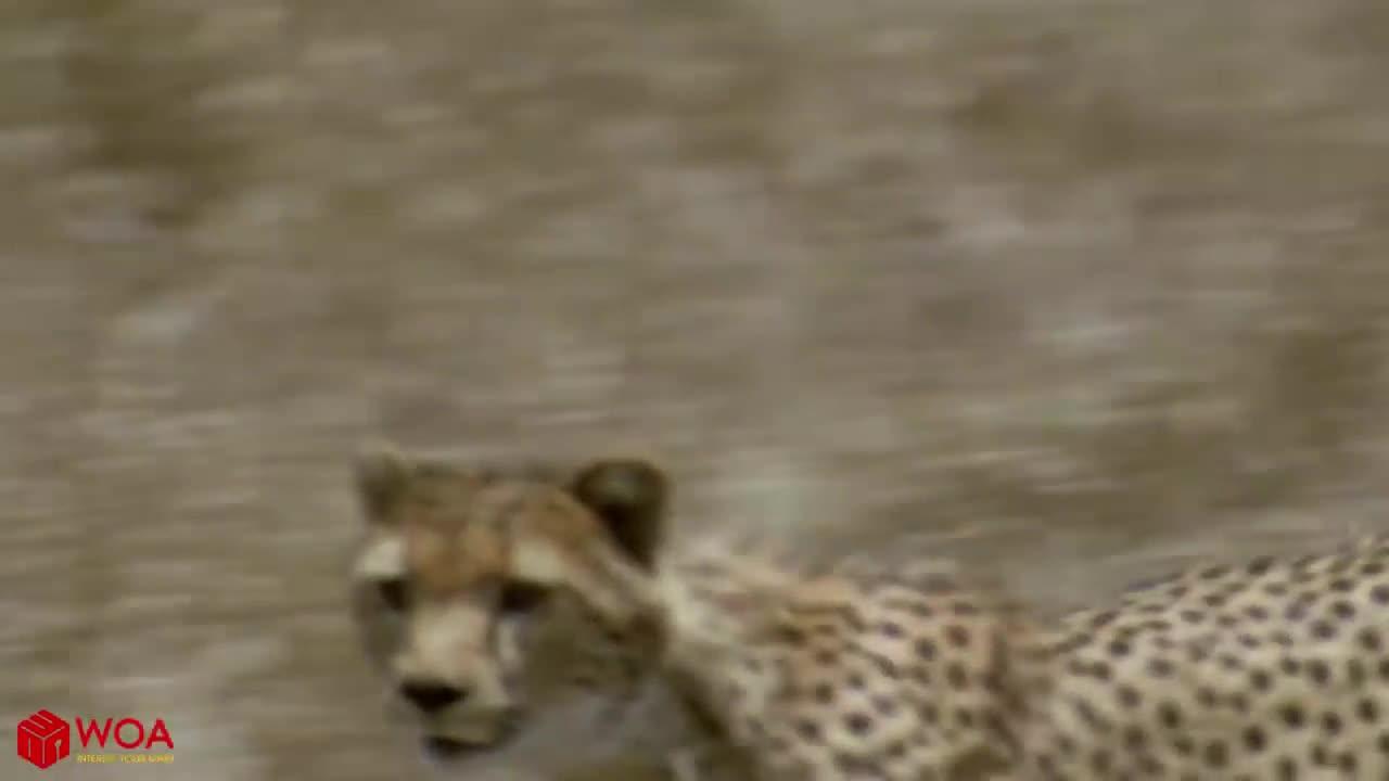 Sư tử trắng trợn cướp mồi của cả nhà báo săn nhưng sau đó là hành động không ai ngờ tới