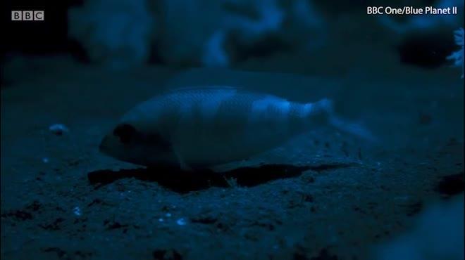 Đây là con sâu biển kinh khủng nhất hành tinh này (trích trong Blue Planet II của BBC)