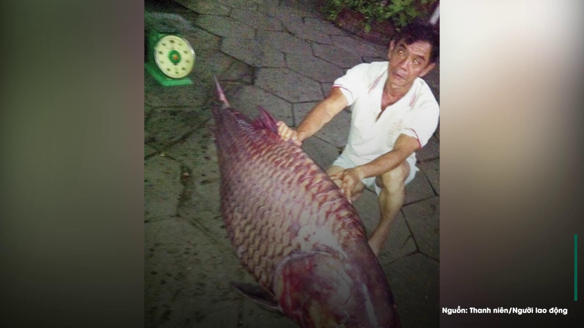 Vì sao cá hô bị đề nghị loại khỏi sách đỏ Việt Nam?