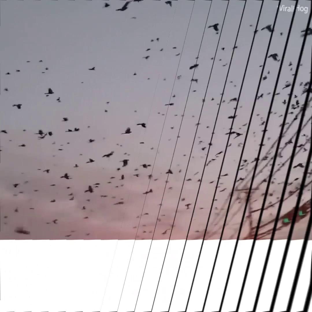 Hàng ngàn con chim phủ kín bầu trời Texas