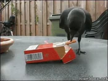 Trí nhớ của loài quạ