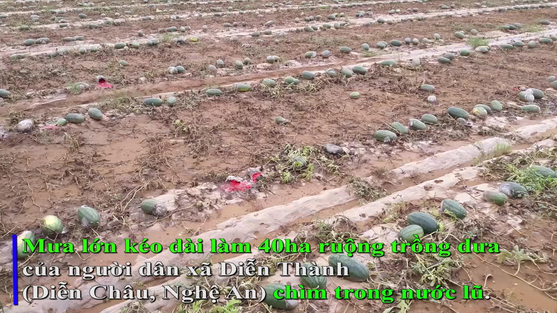 Dưa thối đầy đồng, người dân mang dưa về cho bò ăn.