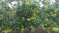 Mãn nhãn với hình ảnh vườn chôm chôm Ia Tô sai trĩu quả