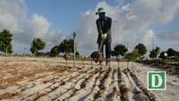 Mùa trồng tỏi trên đảo Lý Sơn