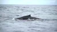 Sốc với cảnh cá voi cụt gần nửa người bơi xuyên đại dương