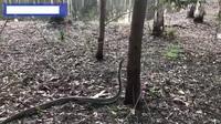 Rợn người cảnh trăn khổng lồ trổ tài trèo cây ở Úc