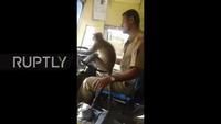 Tài xế để... khỉ cầm lái xe buýt chở đầy hành khách