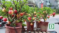 """300 nghìn đồng/ chậu, táo cảnh bonsai """"khuynh đảo"""" thị trường 20/10"""