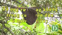 """Tổ ong """"khủng"""" trên cây vú sữa nhà anh Tuấn"""