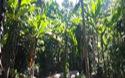 Nhiều cây gỗ rừng tự nhiên bị chặt hạ