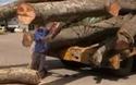 """Vụ cây """"siêu khủng"""": Xử phạt 12,5 triệu đồng và buộc cắt gọt phần quá khổ"""