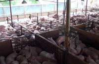 Hơn 5.000 con heo bị tiêm thuốc an thần chuẩn bị đưa ra thị trường