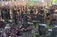 Ghi nhanh: Những làng trồng mai chuyên nghiệp thu tiền tỉ ở An Nhơn, Bình Định