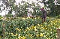 Quảng Bình: Nông dân khóc ròng vì lo mất vụ hoa Tết