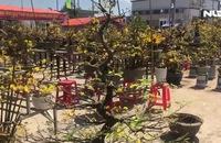 Mai An Nhơn, Bình Định bung nở những ngày cận Tết