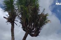 Độc đáo cây dừa 14 đọt của thanh niên Cà Mau
