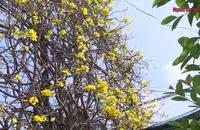 """Độc đáo cây mai """"quạt ba tiêu"""" ở Vĩnh Long"""
