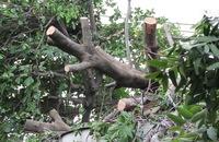 Bốn ngôi nhà bị cây cổ thụ đè nát