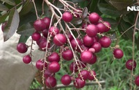 Ghi nhanh: Thăm vườn nhãn tím độc đáo ở Sóc Trăng