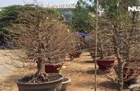 Ghi nhanh: Mai tết Sài Gòn tấp nập vào mùa