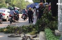Nhánh cây cổ thụ dài 2 mét rơi trúng người đi đường