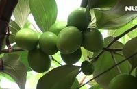 Lưới bao vườn táo chống ruồi vàng ở Ninh Thuận