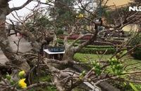 Chiêm ngưỡng cây mai giá 5 tỉ đồng ở Quảng Bình