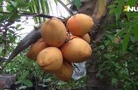 Dừa hai màu đẹp mắt, giá 150.000/ trái thu hút mùa Tết