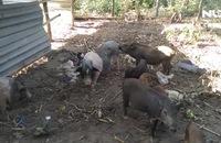 Đầu năm gặp trung úy bộ đội nuôi heo rừng ở Phú Quốc