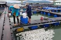 Cá lại chết hàng loạt trên sông Chà Và
