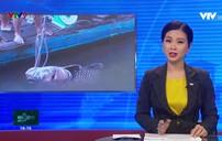 """Cá hô vàng """"khủng"""" mắc lưới ngư dân ở Vĩnh Long"""