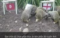 """""""Thánh chồn"""" dự đoán trận đấu giữa Anh và Tunisia"""