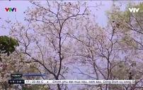Mùa hoa ban ở Điện Biên