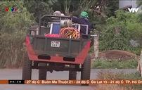 Mối nguy tiềm ẩn tai nạn giao thông mùa thu hoạch cà phê tại Đắk Lắk