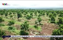 Tây Nguyên trồng cây ăn quả thay cây công nghiệp