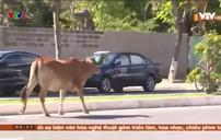 Bò ngang nhiên sang đường gây mất an toàn giao thông